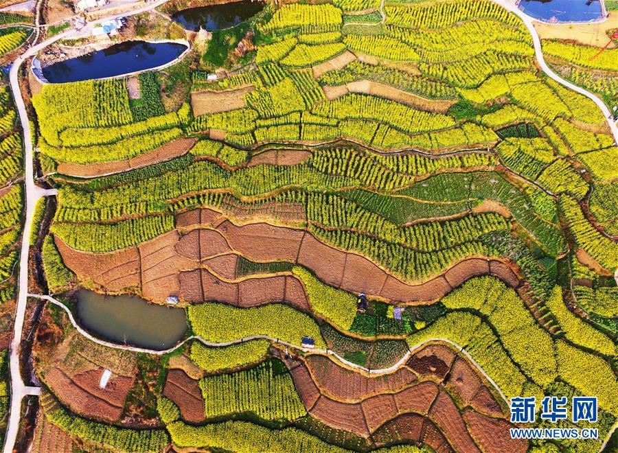 重庆云阳:油菜花香
