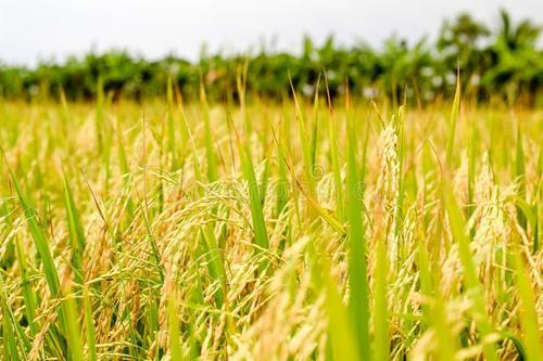 宜糖米发展史-浙江绿巨人生物技术有限公司