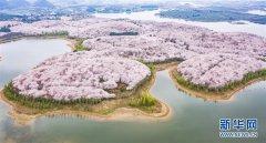 <b>樱花盛开迎春至</b>